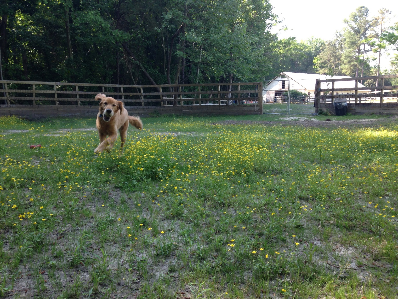 Happy-golden-retriever-running-large